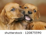 Stock photo brown puppies 120875590