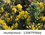 Gorse   Ulex Europaeus Flowers  ...
