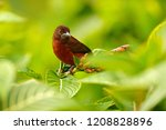 silver beaked tanager ... | Shutterstock . vector #1208828896