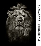 Stock photo graphic black and white lion portrait on black 120894148