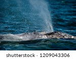 grey whale nose travelling... | Shutterstock . vector #1209043306