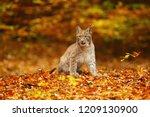 The Eurasian Lynx  Lynx Lynx  ...