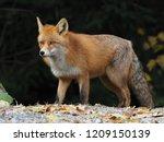 wild fox  vulpes vulpes  | Shutterstock . vector #1209150139