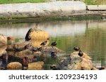 Ducks Standing On Rocks  All Of ...