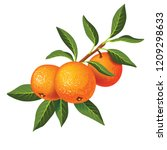 Sprig With Three Tangerines An...