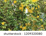 beautiful yellow flowers with... | Shutterstock . vector #1209320080