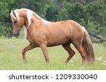 palomino morgan stallion | Shutterstock . vector #1209330040