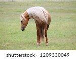 palomino morgan stallion | Shutterstock . vector #1209330049