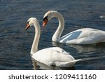 a pair of white swans cygnus... | Shutterstock . vector #1209411160