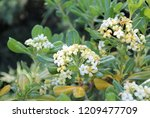 pittosporum tobira  japanese... | Shutterstock . vector #1209477709