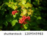 red viburnum branch in the... | Shutterstock . vector #1209545983