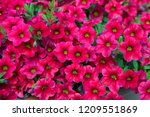 petunia plant with pink flowers ... | Shutterstock . vector #1209551869