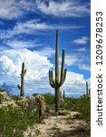 saguaro cactus cereus giganteus ... | Shutterstock . vector #1209678253