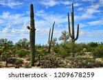 saguaro cactus cereus giganteus ... | Shutterstock . vector #1209678259