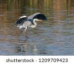Grey Heron With Open Wings...