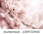 cherry blossom in full bloom.... | Shutterstock . vector #1209722920