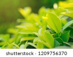 nature fresh green leaf plant... | Shutterstock . vector #1209756370