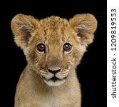Portrait Of Lion Cub Gazing In...