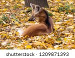 maned wolf. the maned wolf is a ... | Shutterstock . vector #1209871393