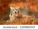 lynx in orange autumn forest.... | Shutterstock . vector #1209883543