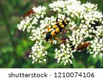 beautiful rutpela maculata  the ... | Shutterstock . vector #1210074106