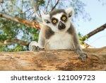 Ring Tailed Lemur Sitting On...