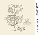 ashwagandha  branch  berries... | Shutterstock .eps vector #1210124770