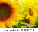 sunflowers | Shutterstock . vector #121017514