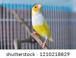 this gouldial finch is a female.... | Shutterstock . vector #1210218829