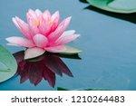 Beautiful Lotus Flower Or Water ...