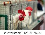 Hen In Cages Of Industrial Far...