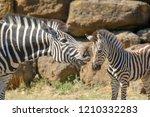 mother zebra nuzzles her foal | Shutterstock . vector #1210332283
