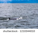 whale is swimming in the gulf...   Shutterstock . vector #1210344010