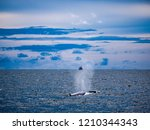 whale is swimming in the gulf...   Shutterstock . vector #1210344343