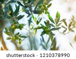 olive trees in sunny evening.... | Shutterstock . vector #1210378990