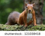 Red Squirrel  Sciurus Vulgaris...