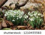 the common snowdrop   Shutterstock . vector #1210455583