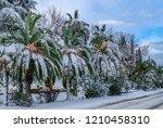 canary island date palm ...   Shutterstock . vector #1210458310