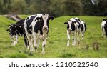 cows on a summer pasture | Shutterstock . vector #1210522540