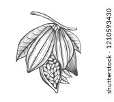 cocoa beans freehand drawing ... | Shutterstock . vector #1210593430