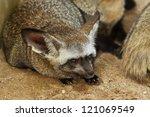 bat eared fox  otocyon... | Shutterstock . vector #121069549