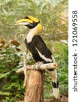 Wreathed Hornbill Stand On The...