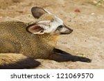 bat eared fox  otocyon... | Shutterstock . vector #121069570