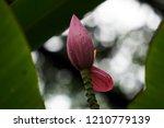 Pink Banana Tree Organized As A ...