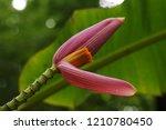 Pink Banana Tree Organized As...