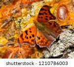 Dorsal View Of A Polygonia...