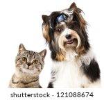 Stock photo cat and dog british kitten and beaver yorkshire terrier 121088674