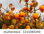 Persimmon  Tree With Ripe...