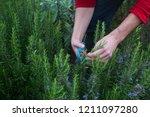 man's hands in the garden... | Shutterstock . vector #1211097280