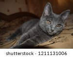 Stock photo cute kitten looking gray kitten eyes cute gray kitten portrait kitten portrait 1211131006